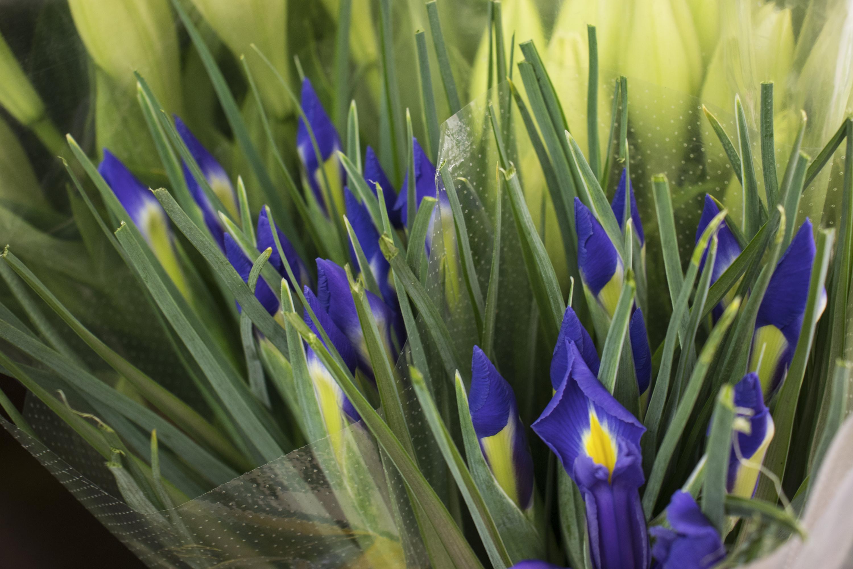 Lirio Iris de Milagros Albitos.