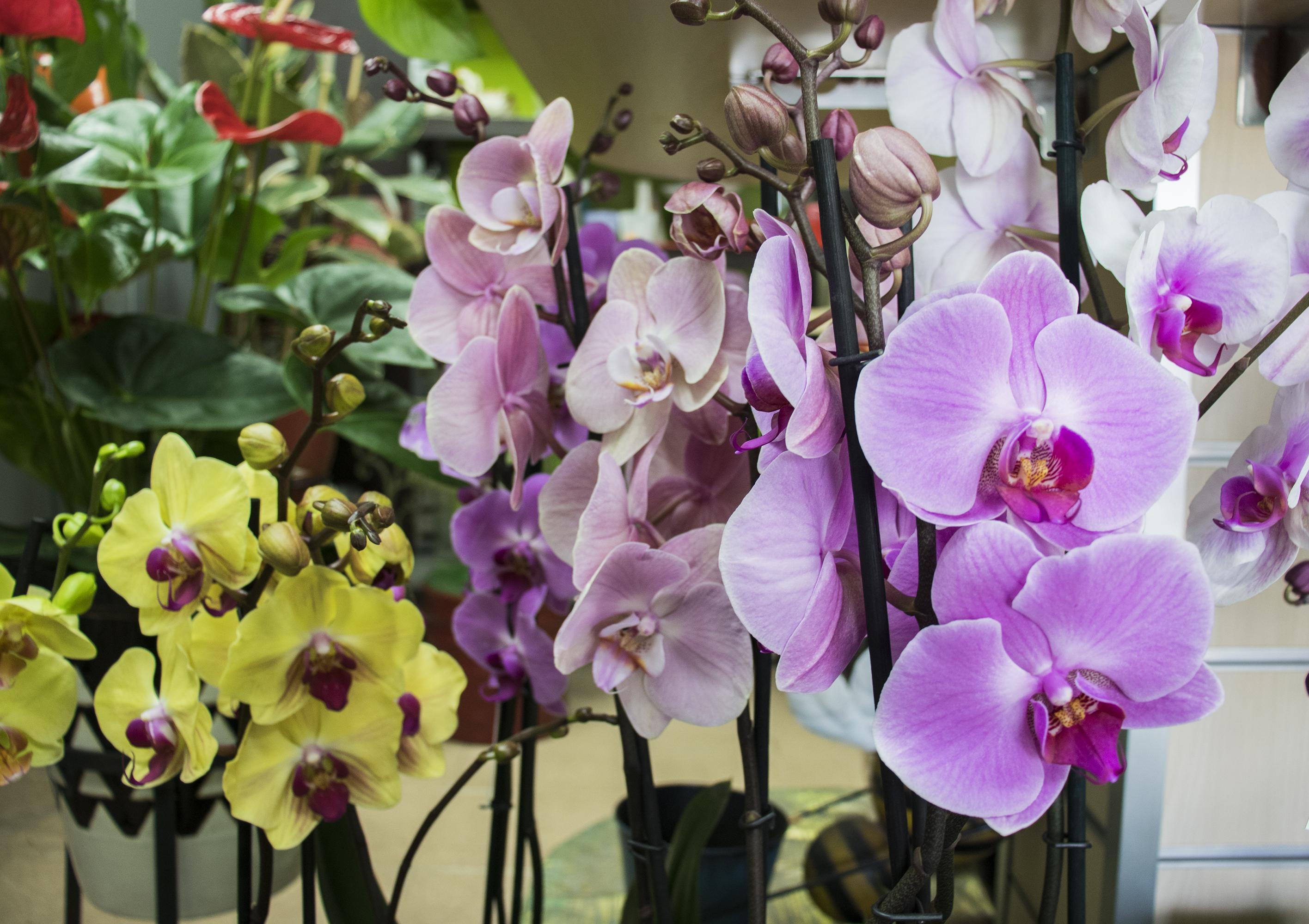 Orquídeas de Milagros Albitos.