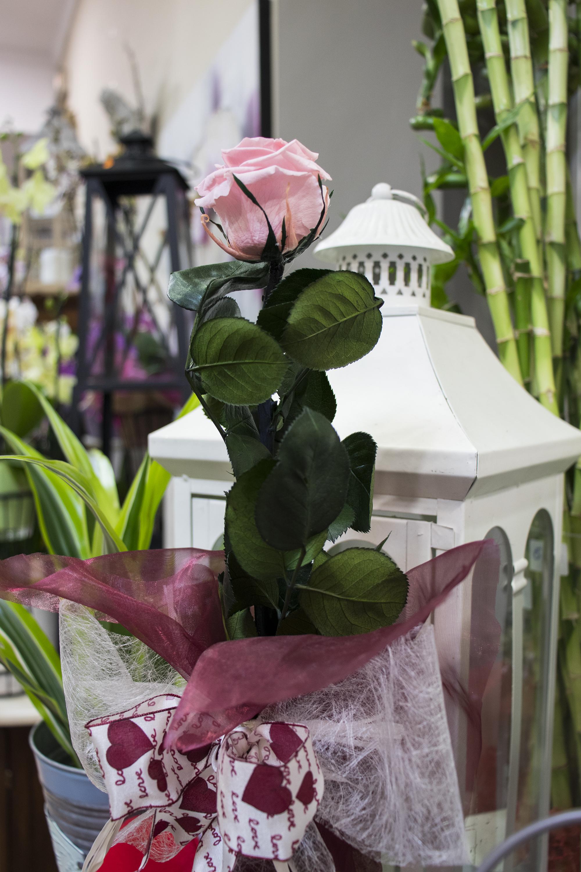 Rosa de color rosa de Drácena.