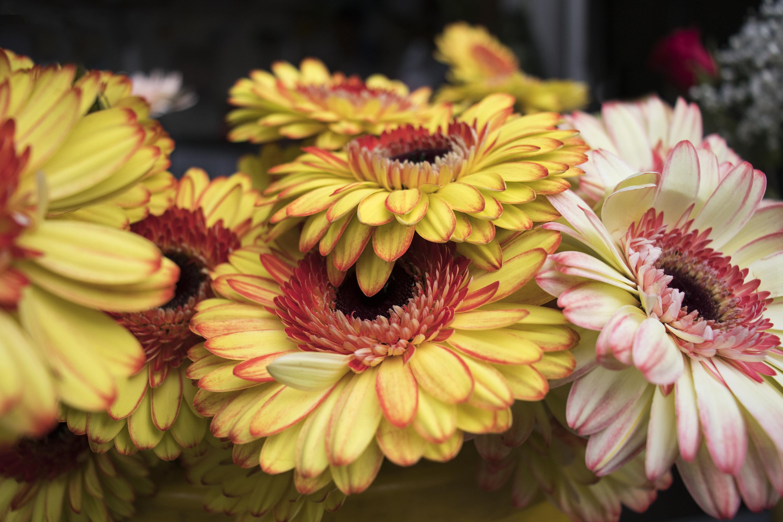 Gerbera amarilla y rosa de Milvia.